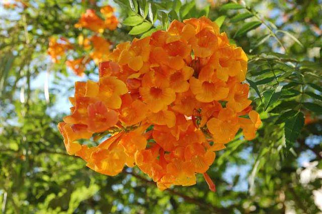 Кампсис цветы фото