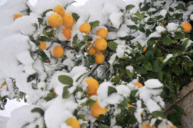 Апельсины в снегу ©  Православный паломнический центр «Россия в красках» в Иерусалиме