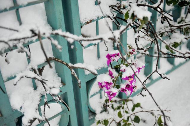 Бугенвилия в снегу ©  Православный паломнический центр «Россия в красках» в Иерусалиме