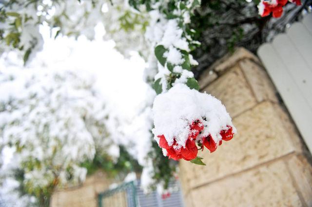 Бугенвилия в букете из снега ©  Православный паломнический центр «Россия в красках» в Иерусалиме